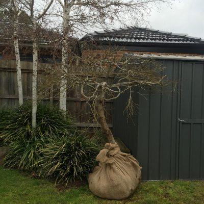 Tree transplanting 2
