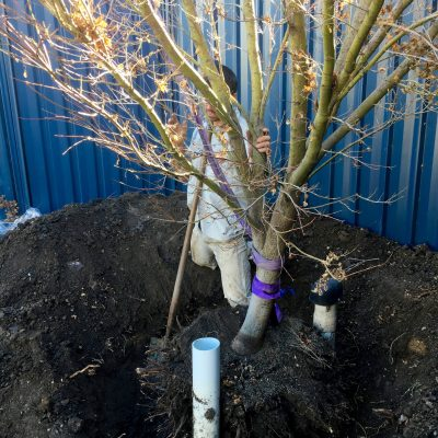 Tree transplanting 3