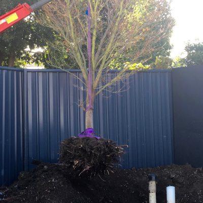 Tree trsnaplanting 4